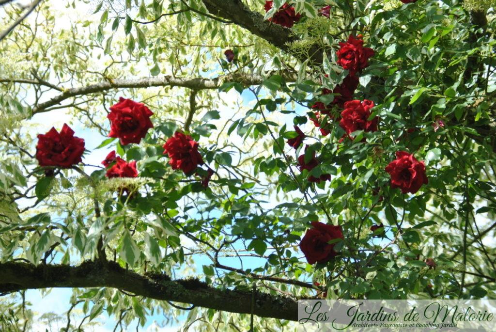 Rosa 'Red Parfum'