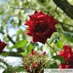 ❤ ❤ Focus sur le rosier 'Red Parfum'