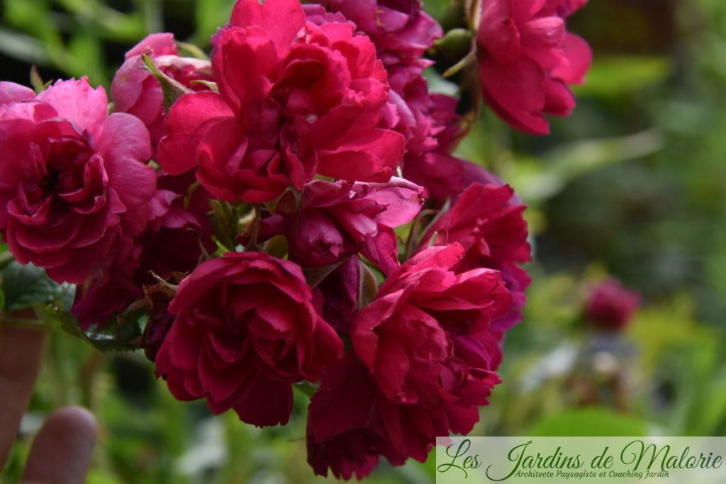 rosa 'F.J. Grootendorst'