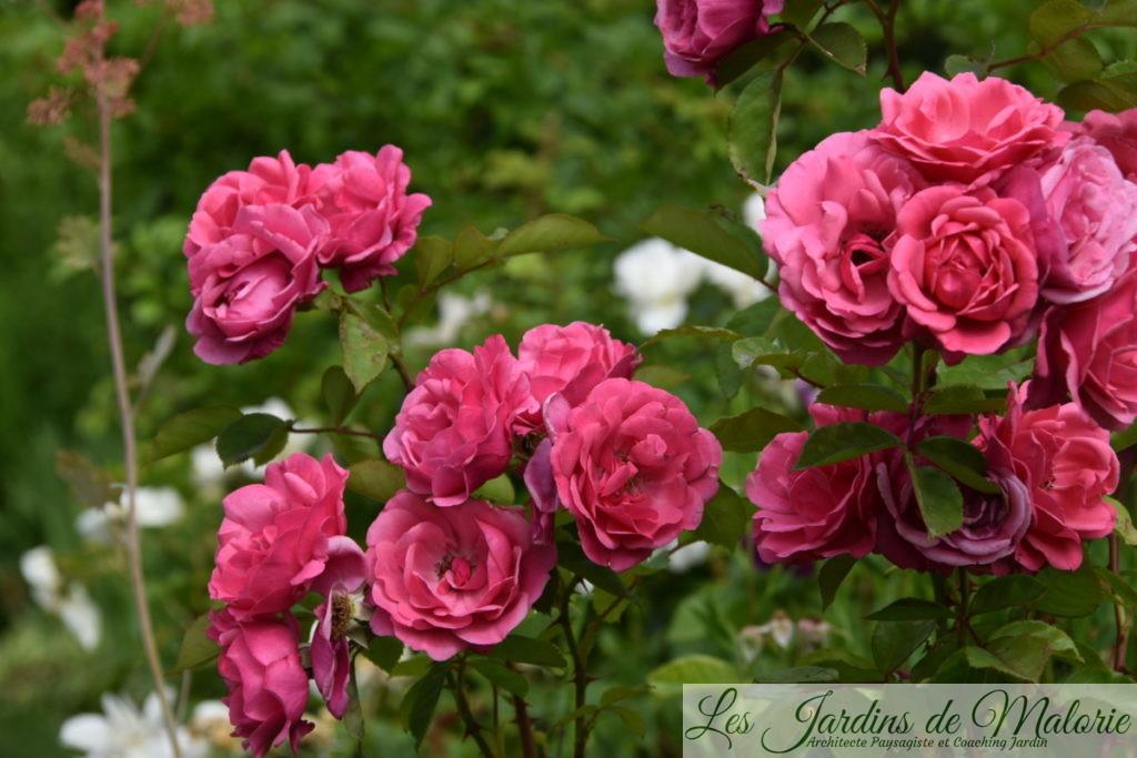 rosier 'Etude'