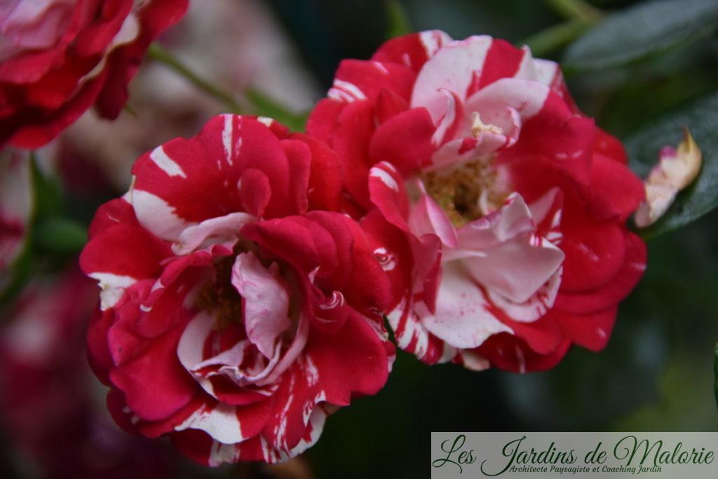 rosier 'Excentrique'