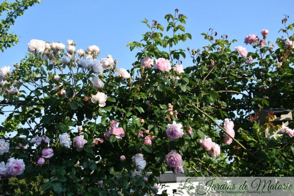 rosiers 'The Generous Gardener' et 'Constance Spry'