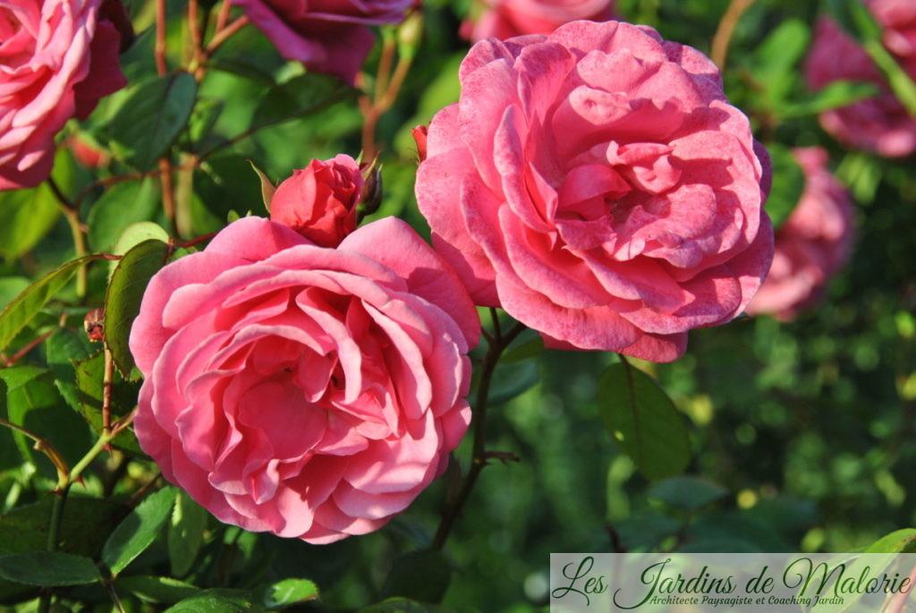 rosa 'Etude'
