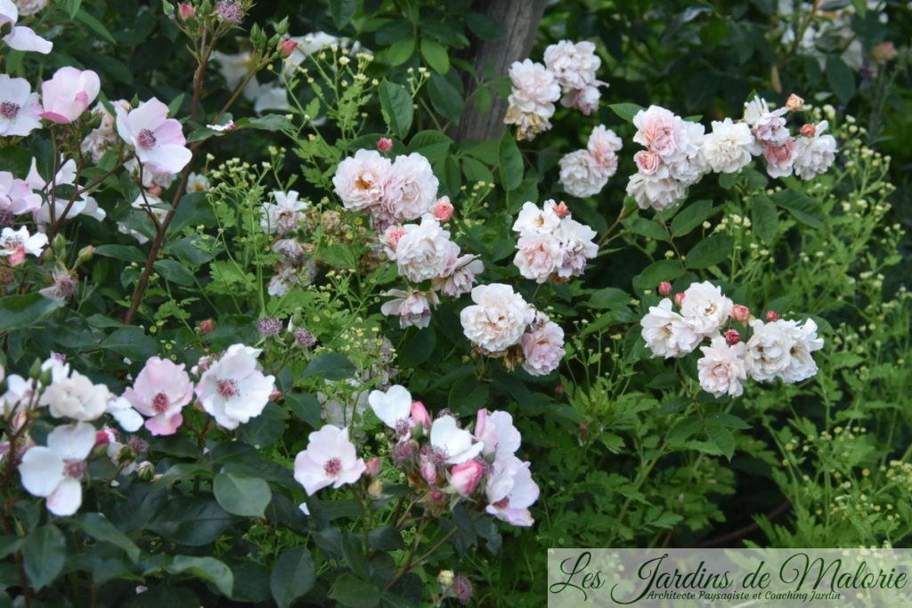 rosiers 'Astonomia' et 'Cornélia'