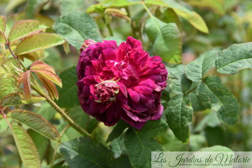 rosier 'Indigo'