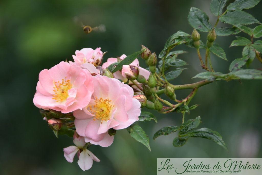 rosa 'Légère surprise', Obtenteur: Daniel Schmitz (B), 2011