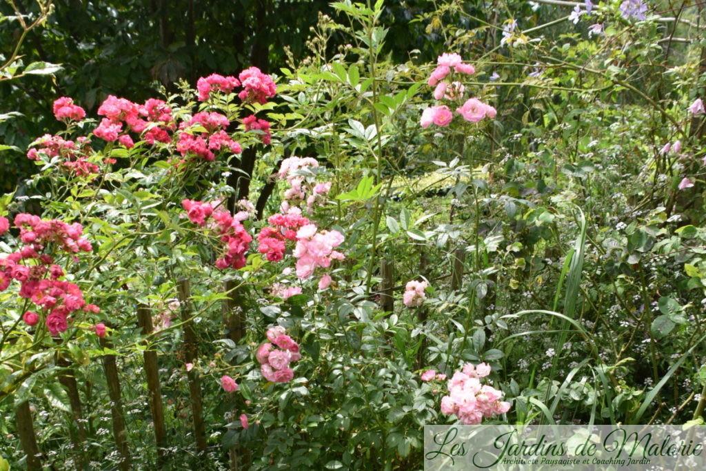 deux bien jolis rosiers... 'Breewood Belle' (Scarman) et 'Pois de senteur' (Jean-Lin Lebrun).