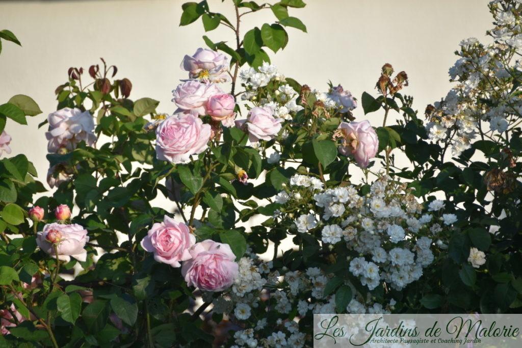 rosier 'Constance Spry' et 'Guirlande d'Amour'