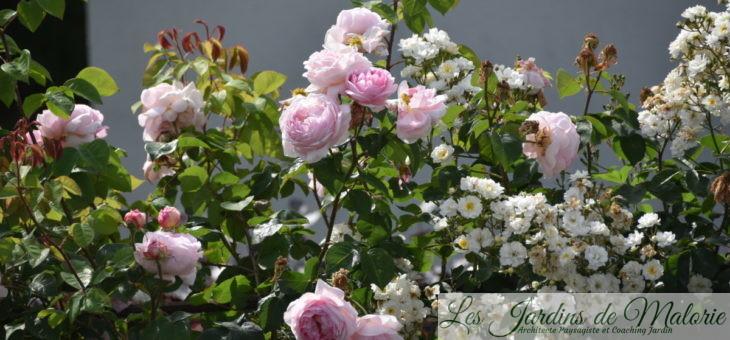 Joli Duo : rosiers 'Constance Spry' et 'Guirlande d'Amour'