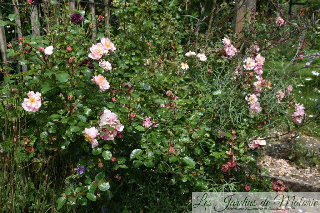 rosier 'Les Yeux d'Elsa' (Jean Lin Lebrun - Melarosa)