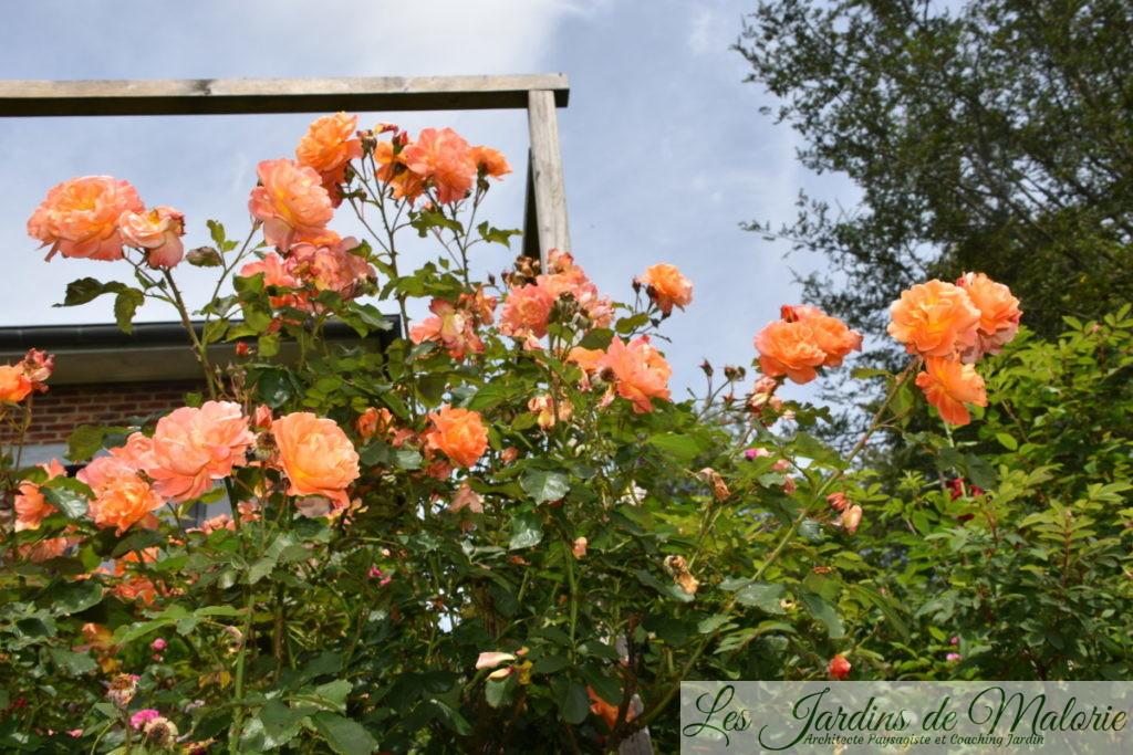 rosier 'Westerland'