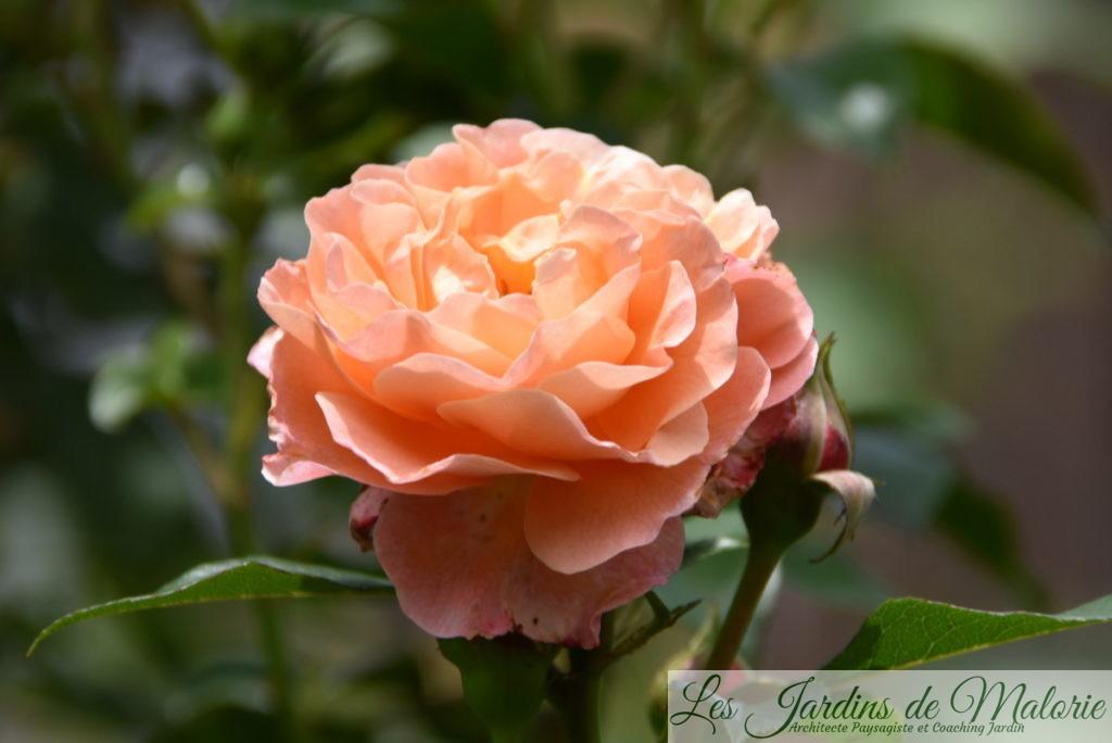 rosier 'Marie Curie'