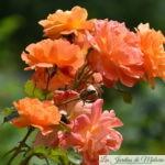 ❤ Focus sur le rosier 'Westerland'