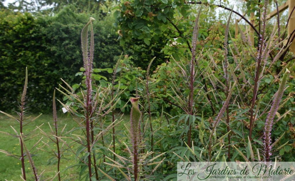 floraison d'un véronicastrum avec des exemples de tératologie végétale : Fasciation