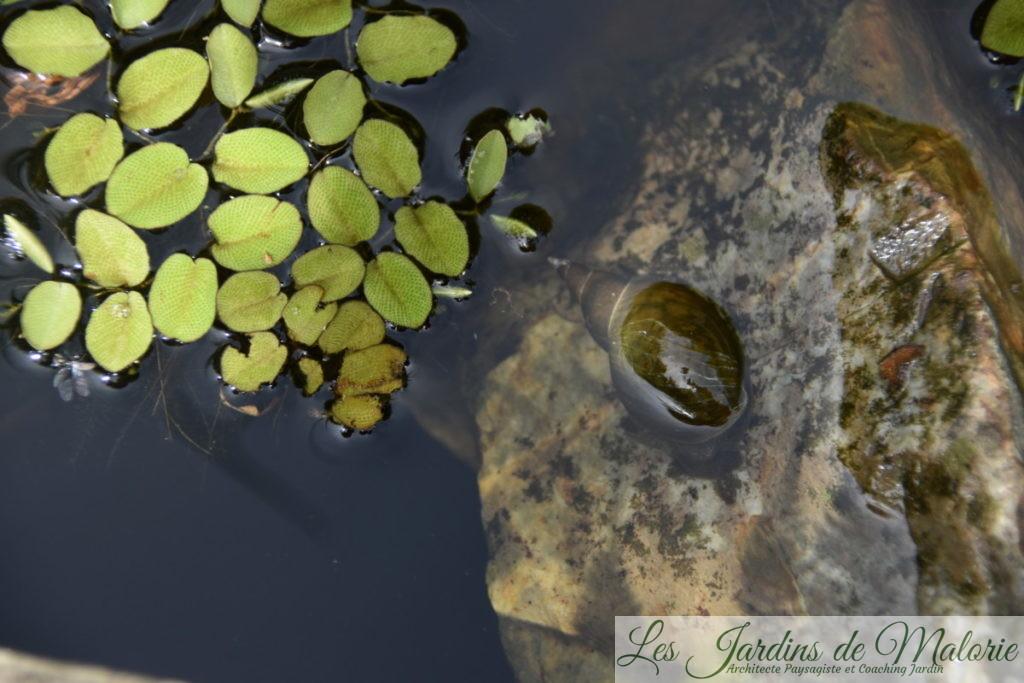 Salvinia minima (petite salvinie), plante aquatique, et limnée