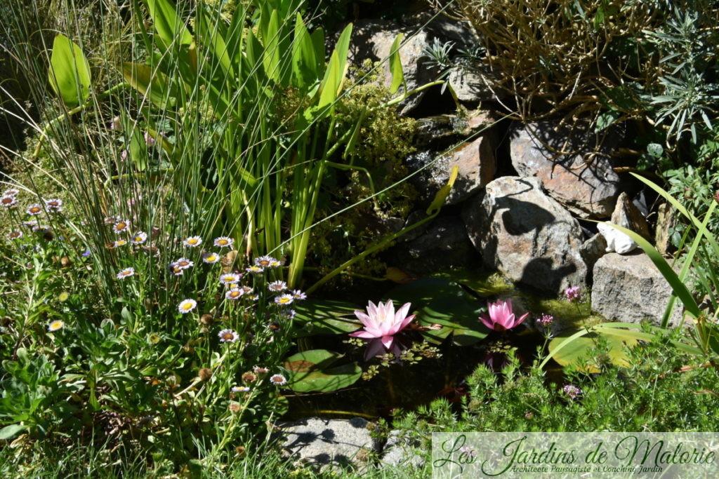 nymphea en fleurs et, au bord du bassin, erigeron alpinus