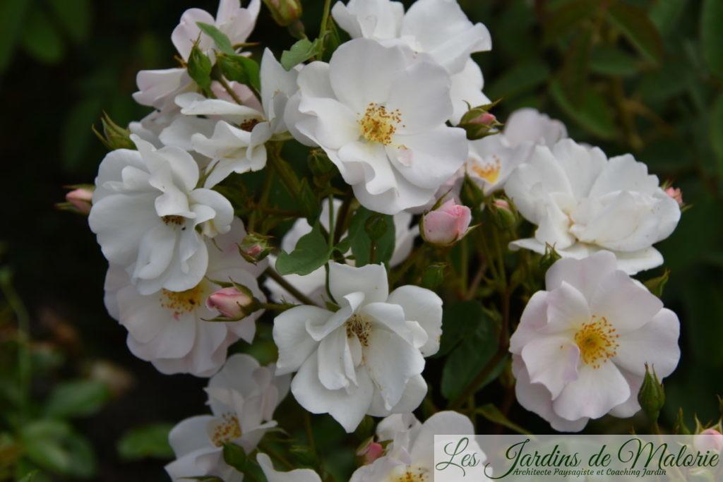 rosier 'Rosée du Matin', hybride moderne, Eve