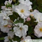❤ ❤  Focus sur le rosier 'Rosée du Matin'
