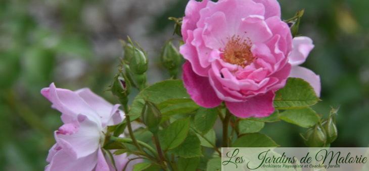 ❤ ❤ Focus sur le rosier 'L'Herbe Folle'