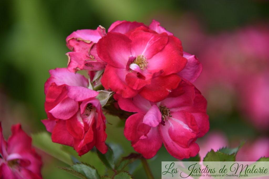 rosier 'Myriam, Courir pour Elles'