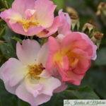 ❤ ❤ ❤ Focus sur le rosier 'Lambert Wilson'