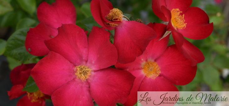 Mes 14 nouveaux rosiers… Ah non, 15 en fait! ;)