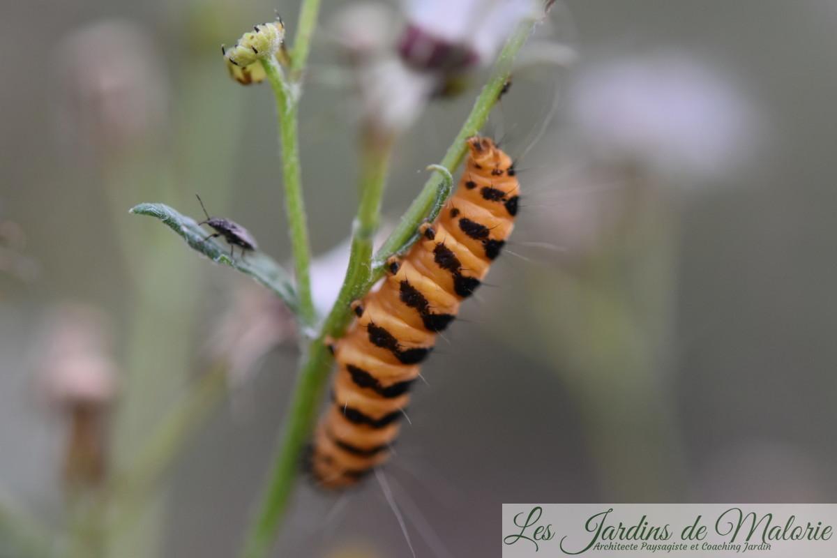 """chenille orange et noire, la chenille du papillon Tyria jacobaea, encore appelé """"Goutte de sang"""", ou """"Carmin"""" ou écaille du seneçon, écaille jacobée."""