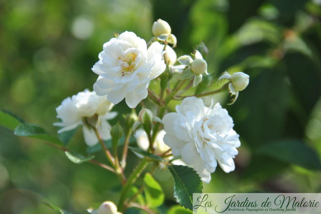 rosier 'Guirlande d'Amour'