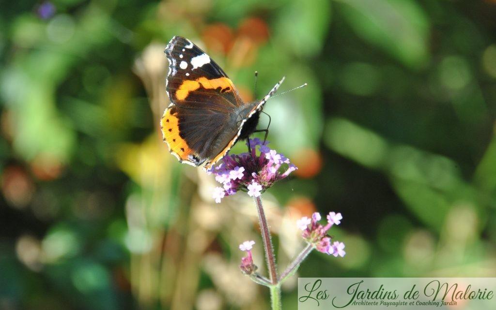 un papillon Vulcain sur les verveines de Buenos Aires (verbena bonariensis)