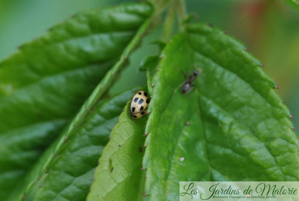 coccinelle à damier, Propylea quatuordecimpunctata