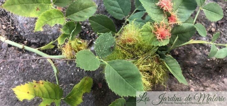 Bizarrerie : La Galle du rosier