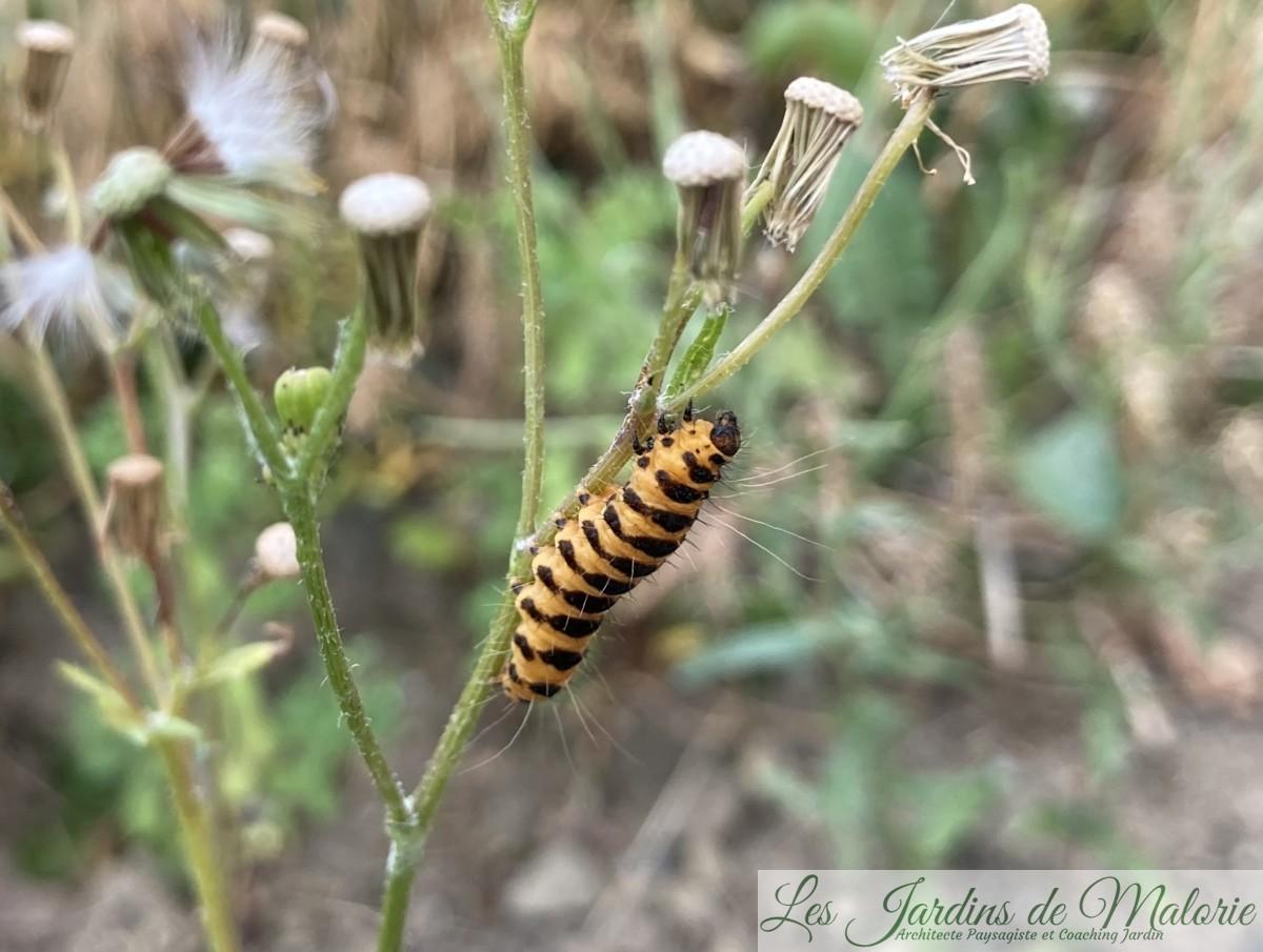 """la chenille du papillon Tyria jacobaea, encore appelé """"Goutte de sang"""", ou """"Carmin"""" ou écaille du seneçon, écaille jacobée."""