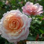 ❤ ❤ Focus sur le rosier 'Pierre Hermé'