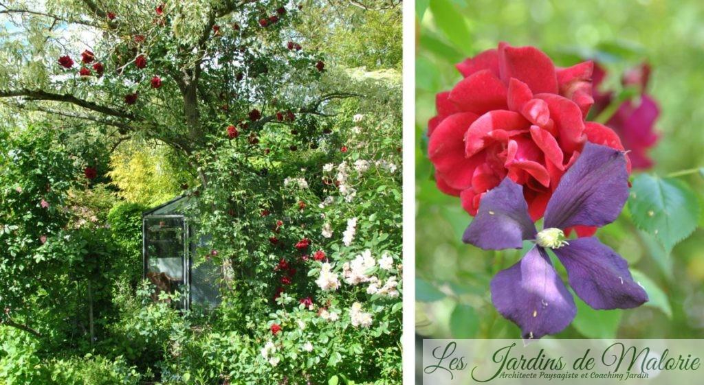 rosier 'Red Parfum'