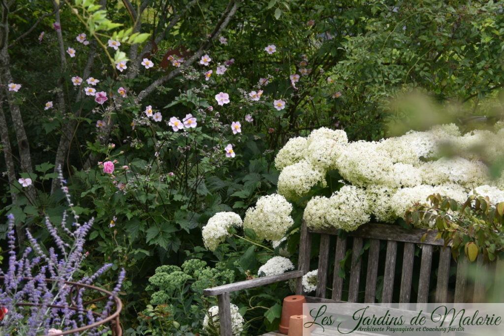 les anémones du Japon allègent les grosses fleurs de l'hydrangea arborescens 'Annabelle'