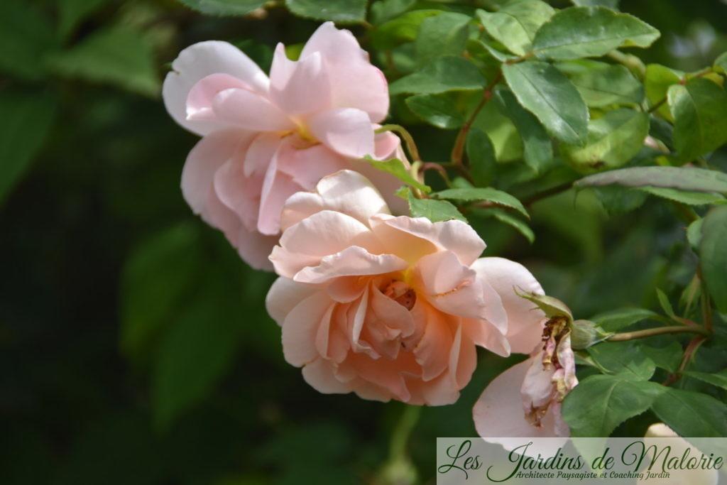 rosier 'Coraline'