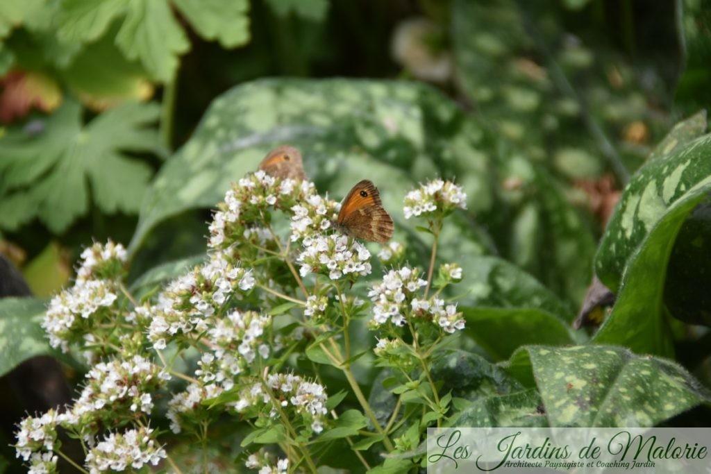 papillon Myrtil sur les fleurs d'origan doré