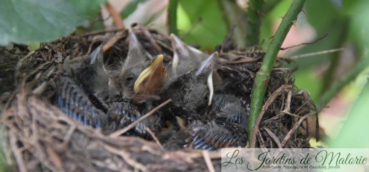 Les Oiseaux du jardin : une nichée de merles