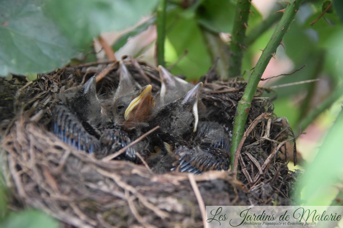 jeunes merles dans le nid