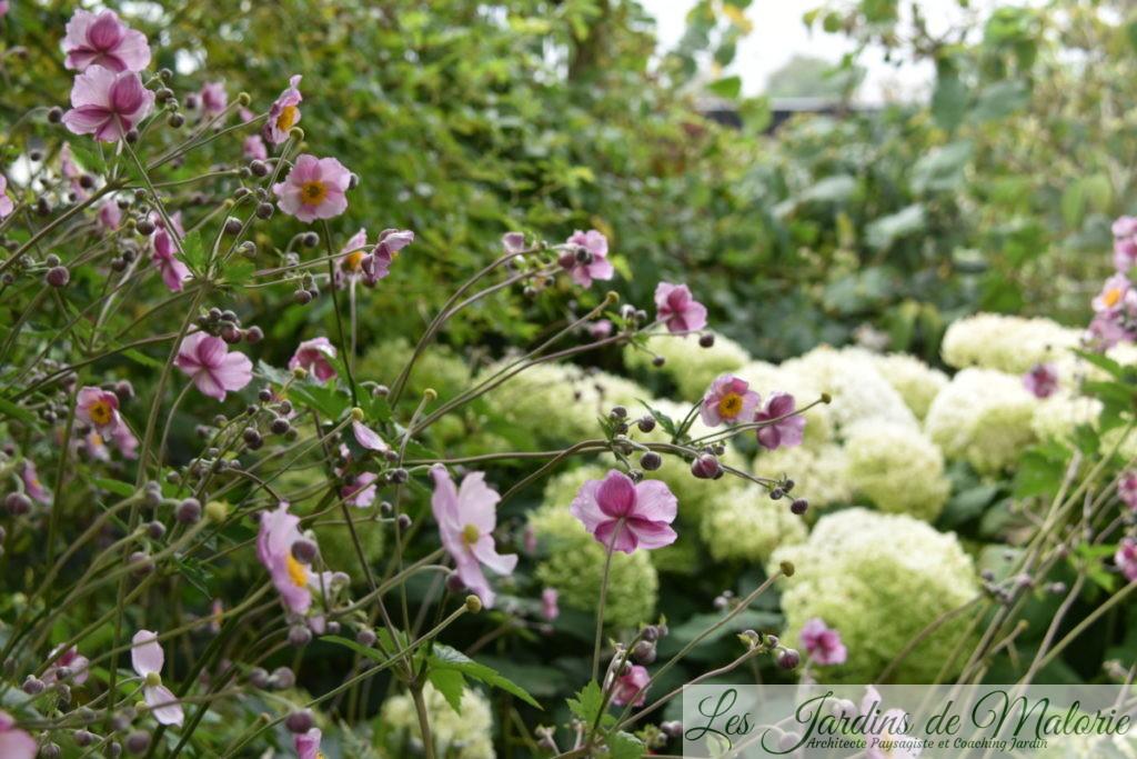 anémones du Japon et hydrangea arborescens 'Annabelle'