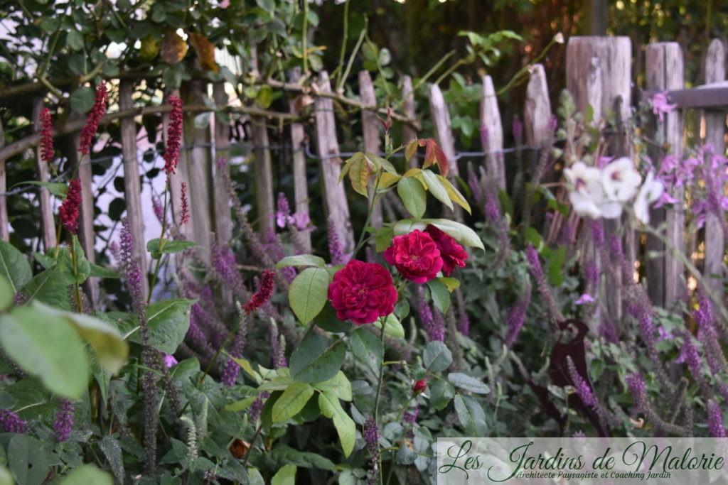 teurcrium hircanicum et rosier 'Darcey Bussel'