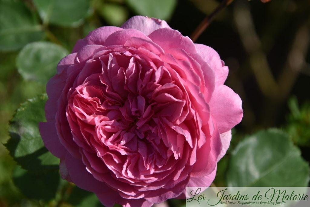 rosier 'Princesse Alexandra of Kent'