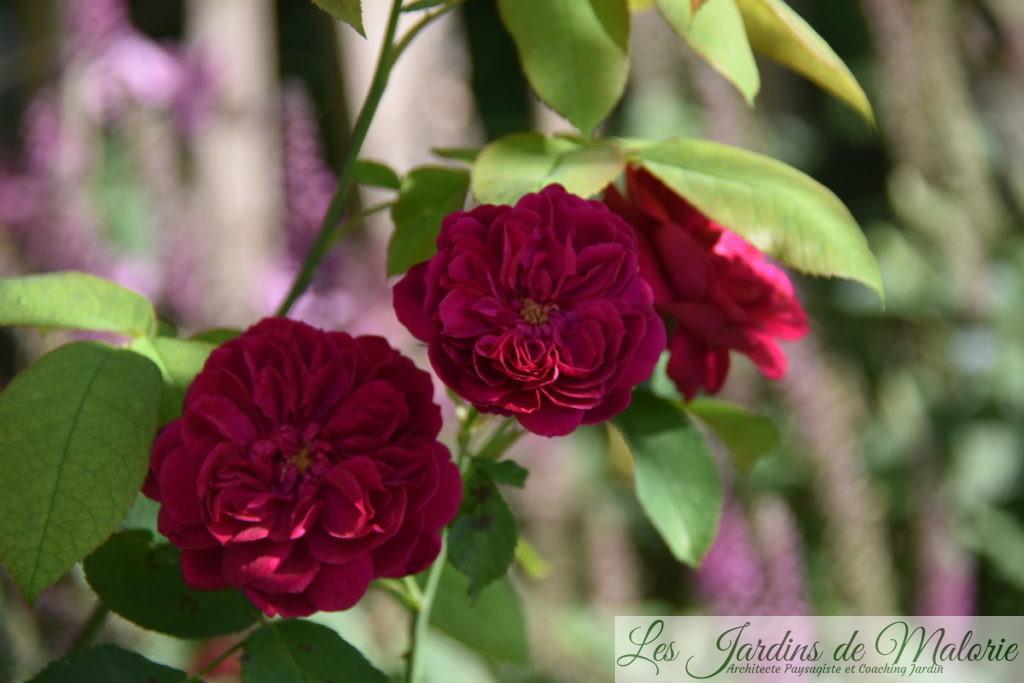 rosier 'Darcey Bussel'