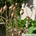 Le temps des graines... : la récolte