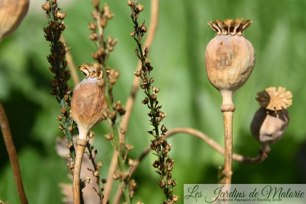 capsules de graines de pavot et linaria purpurea en graines