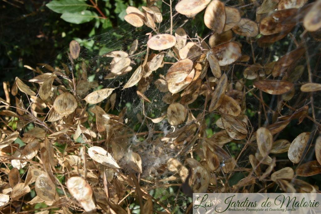 capsules de graines de lunaria variegata