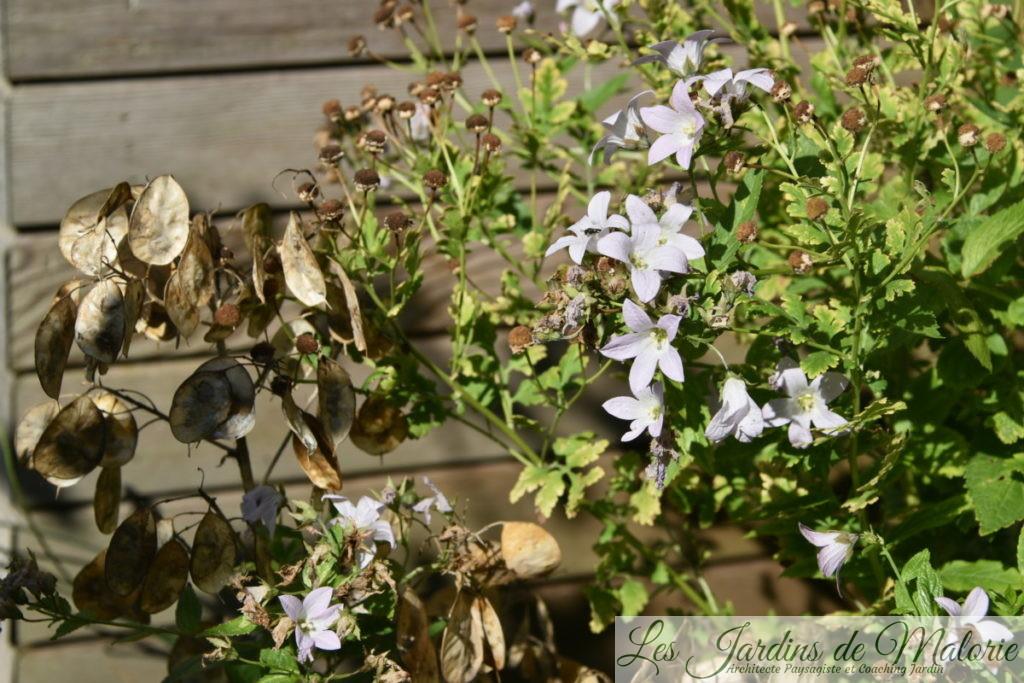 capsules de graines de lunaria variegata à côté des fleurs de camomille et de campanules