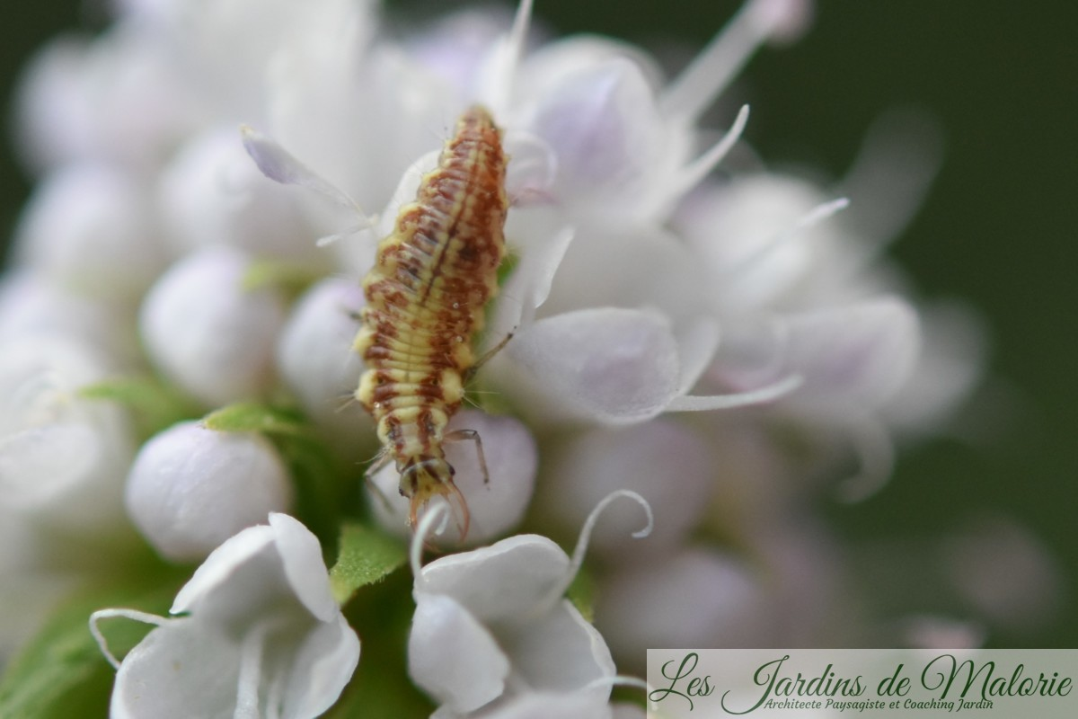 larve de chrysope