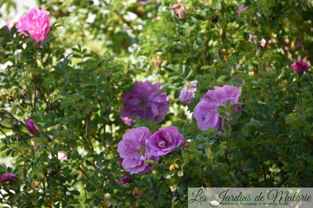 rosier rugueux, rosa rugosa 'Belle Poitevine'