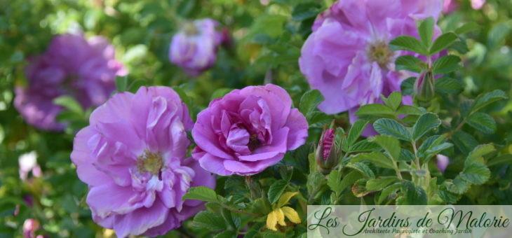 ❤ ❤  Focus sur le rosier rugosa 'Belle Poitevine'